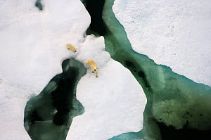 Polar bear (Ursus maritimus) aerial view of sow with cub along the Arctic coast in summer, near Point Barrow, Alaska, USA. July.  -  Steven Kazlowski