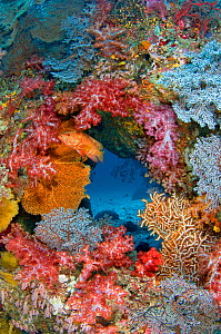 Coral grouper (Cephalopholis miniata) guarding its territory on a colourful coral reef. East Of Eden, Similan Islands, Thailand. Andaman Sea, Indian Ocean. - Alex Mustard