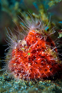 Hairy frogfish (Antennarius striatus) on a sandy seabed. Anilao, Batangas, Luzon, Philippines. Verde Island Passages, Tropical West Pacific Ocean. - Alex Mustard