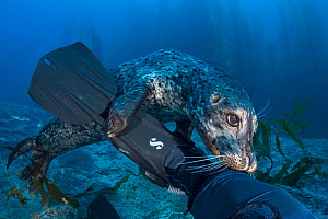 Harbour seal (Phoca vitulina) investigating the leg of the photographer (Alex Mustard). Santa Barbara Island, Channel Islands. Los Angeles, California, United States of America. North East Pacific Oce...  -  Alex Mustard