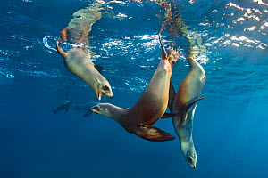 California sea lions (Zalophus californianus) group playing in the sun in the early morning. Santa Barbara Island, Channel Islands. Los Angeles, California, United States of America. North East Pacifi...  -  Alex Mustard