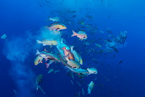 Bohar snappers (Lutjanus bohar) breaking up into smaller groups to spawn. The fish swim short arches above the main group as they release clouds of gametes.  Shark City, Ulong, Rock Islands, Palau. Tr... - Alex Mustard