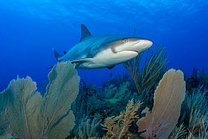 Caribbean reef shark (Carcharhinus perezi) swimming over Common sea fans (Gorgonia ventalina) on a coral reef. East End, Grand Cayman, Cayman Islands, British West Indies. Caribbean Sea  -  Alex Mustard