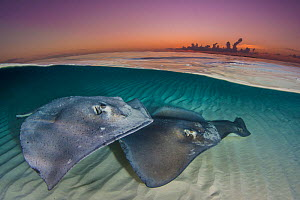 Southern stingrays (Hypanus americanus) swimming over a sand bar in the early morning. Grand Cayman, Cayman Islands. British West Indies. Caribbean Sea. - Alex Mustard