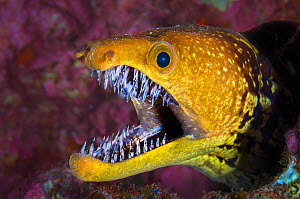 Fangtooth moray eel (Enchelycore anatina) with mouth open, Grand Canaria, Canary Islands, Spain. East Atlantic Ocean.  -  Alex Mustard