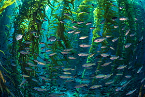 School of Blacksmith fish (Chromis punctipinnis) swim through a giant kelp (Macrocystis pyrifera) forest. Santa Barbara Island, Channel Islands. Los Angeles, California, United States of America. Nort...  -  Alex Mustard