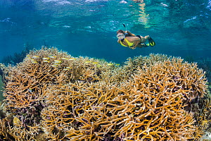 Snorkeller swimming over a shallow coral reef with a large stand of Staghorn coral (Acropora cervicornis). North Wall, Grand Cayman, Cayman Islands, British West Indies. Caribbean Sea. Critically enda... - Alex Mustard