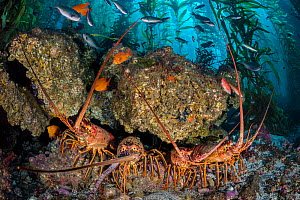 Four California spiny lobsters (Panulirus interruptus) shelter beneath a boulder in a kelp forest. Santa Barbara Island, Channel Islands. Los Angeles, California, United States of America. North East... - Alex Mustard
