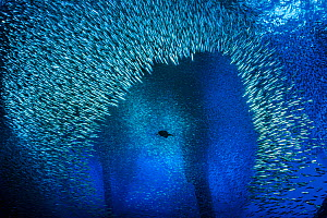 Brandt's cormorant (Phalacrocorax penicillatus) bursts through a school of Pacific chub mackerel (Scomber japonicus) while hunting beneath an oil rig. Ellen Rig, Los Angeles, California, United States...  -  Alex Mustard