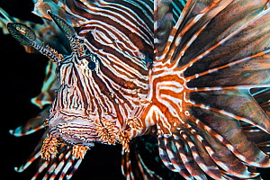 Lionfish (Pterois volitans) portrait, invasive species in the Caribbean. East End, Grand Cayman, Cayman Islands, British West Indies, Caribbean Sea.  -  Alex Mustard