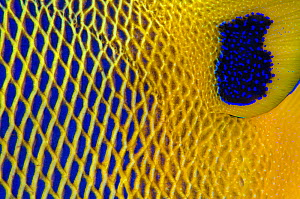 Close up of the scale details of a Yellow-mask angelfish (Pomacanthus xanthometopon). Baa Atoll, Maldives. Indian Ocean - Alex Mustard
