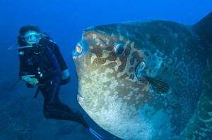 Diver encounters a large sunfish (Mola mola), the world's heaviest bony fish. Tulamben, Bali, Indonesia. Java Sea  Model released - Alex Mustard