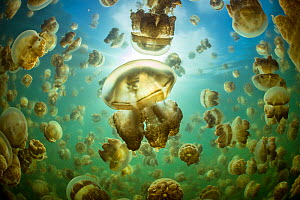 Aggregation of Golden jellyfish (Mastigias sp.) in a marine lake in Palau, the golden colour of this species comes from symbiotic algae in its tissues. Jellyfish Lake, Eil Malk island, Rock Islands, P... - Alex Mustard