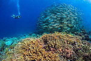 Diver photographing a school of Big eye trevally (Caranx sexfasciatus). South Atoll, Tubbataha Atolls, Tubbataha Reefs Natural Park, Palawan, Philippines. Sulu Sea.  -  Alex Mustard