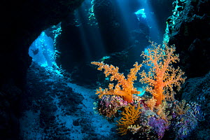 Soft corals (Scleronephthya corymbosa) inside a cavern within a coral reef. This species is typical of cave habitats. Uum Karerim, St Johns Reef. Egypt. Red Sea. - Alex Mustard