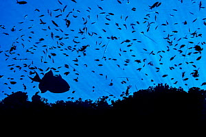 Silhouette of reef fish, including a Blue triggerfish (Pseudobalistes fuscus) and many Scalefin anthias (Pseudanthias squamipinnis). Ras Mohammed Marine Park, Sinai, Egypt. Red Sea.  -  Alex Mustard