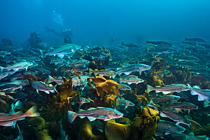 Diver swimming with an aggregation of Cod (Gadus morhua) over a kelp forest. These cod were gathered in early spring off the north coast of Iceland to spawn. Thorshofn, Iceland. North Atlantic Ocean.... - Alex Mustard