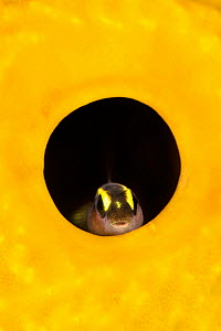 Spotlight goby (Gobiosoma louisae) looking out from inside a Yellow tube sponge (Aplysina fistularis), growing on a coral reef. Bloody Bay Wall, Little Cayman, Cayman Islands, British West Indies. Car...  -  Alex Mustard