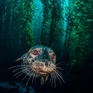 Harbour seal (Phoca vitulina) in the kelp forest (Macrocystis pyrifera). Santa Barbara Island, Channel Islands. Los Angeles, California, United States of America. North East Pacific Ocean. - Alex Mustard