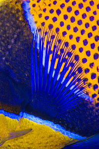 Pattern detail of a Majestic angelfish (Pomacanthus navarchus). Fiabacet Islands, Misool, Raja Ampat, West Papua, Indonesia. Ceram Sea.  -  Alex Mustard