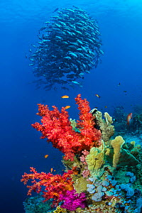 School of Bohar snappers (Lutjanus bohar) above a coral reef. These fish are usually solitary but have gathered in the summer in the Red Sea for spawning. Shark Reef, Ras Mohammed Marine Park, Sinai,... - Alex Mustard