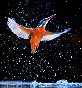 Kingfisher (Alcedo atthis) emerging from pool, UK, December.  -  Andy  Rouse