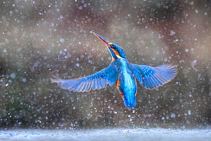Kingfisher (Alcedo atthis) emerging from water in rain, UK. January.  -  Andy  Rouse