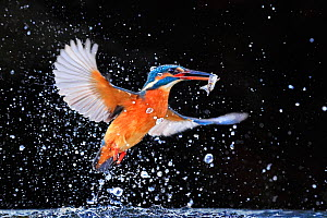 Kingfisher (Alcedo atthis) emerging from pool with fish, UK, December. EDITORIAL USE ONLY. - Andy  Rouse