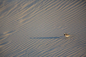 White Wagtail (Motacilla alba) on a sand dune, Baie de Somme Nature Reserve, Picardie, France April  -  Cyril Ruoso