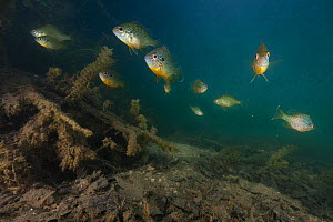 Pumpkinseed Sunfish (Lepomis gibbosus) introduced species, Aube, France, May - Cyril Ruoso