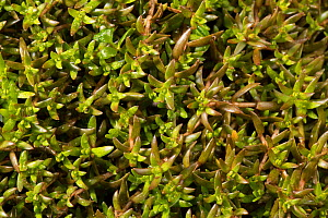 Swamp Stonecrop (Crassula helmsii) close up detail, Somme Valley, France, April - Cyril Ruoso