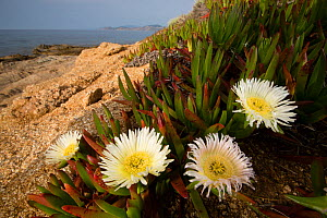 Ice Plant (Carpobrotus edulis) an introduced and invasive species, Corse / Corsica, France, May  -  Cyril Ruoso
