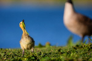 Canada goose (Branta canadensis) gosling by water, Seine Valley, Aube, France May  -  Cyril Ruoso