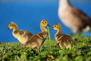 Canada goose (Branta canadensis) three goslings by water, Seine Valley, Aube, France, May  -  Cyril Ruoso