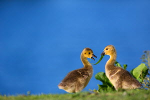Canada goose (Branta canadensis) goslings by water, Seine Valley, Aube, France, May  -  Cyril Ruoso