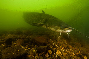 Wels catfish (Silurus glanis) underwater, Tarn River, France August  -  Cyril Ruoso