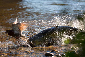 Wels catfish (Silurus glanis) hunting Feral pigeon (Columba livia) by lunging on the riverbank, Tarn River, France August  -  Cyril Ruoso