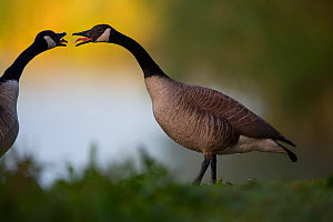 Canada geese (Branta canadensis) in heated exchange, Seine Valley, France, May  -  Cyril Ruoso