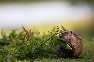 Nutria (Myocastor coypus) foraging along riverbank, Aube, France, May - Cyril Ruoso