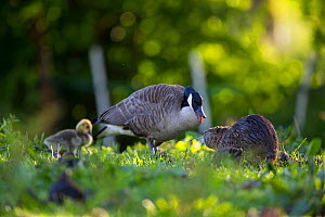 Canada geese (Branta canadensis) family with Nutria foraging in front (Myocastor coypus) Seine Valley, France, May - Cyril Ruoso
