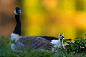 Canada goose with gosling (Branta canadensis) Seine Valley, France, May  -  Cyril Ruoso