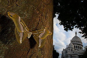 Ailanthus silkmoth (Samia cynthia) an introduced species, taken against tree trunk with Sacre Coeur behind, Paris, France September - Cyril Ruoso