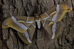 Ailanthus silkmoth (Samia cynthia) an introduced species, taken against tree trunk, France - Cyril Ruoso