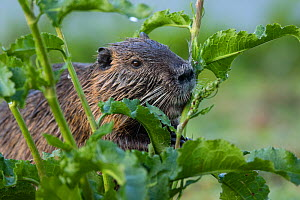 Nutria / Coypu (Myocastor coypus) introduced species, in vegetation, France - Cyril Ruoso