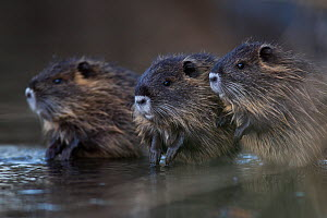 Nutria / Coypu (Myocastor coypus) three juveniles in water, Yonne, France - Cyril Ruoso