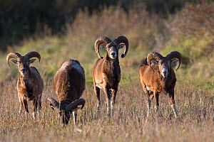 European mouflon (Ovis gmelini musimon) four rams grazing, an introduced species in Baie de Nature Somme Reserve, France, April 2015 - Cyril Ruoso