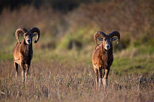 European mouflon (Ovis gmelini musimon) two rams on alert, an introduced species in Baie de Nature Somme Reserve, France, April 2015 - Cyril Ruoso