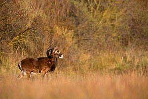 European mouflon (Ovis gmelini musimon) an introduced species in Baie de Nature Somme Reserve, France, April 2015 - Cyril Ruoso