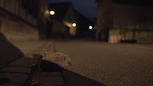 European hedgehog (Erinaceus europaeus) in road at night, with approaching car headlights, Mossingen, Baden-Wurttemberg, Germany, October. - Dietmar  Nill