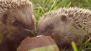 Close-up of two European hedgehogs (Erinaceus europaeus) feeding on windfall pears, Mossingen, Baden-Wurttemberg, Germany, October. - Dietmar  Nill